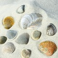 Seashells by Amber Skinner