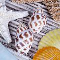 Seashells And Starfish by Bill Brennan - Printscapes