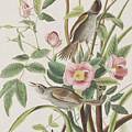 Seaside Finch by John James Audubon