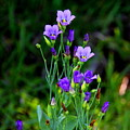Seaside Gentian Wildflower  by Barbara Bowen