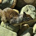 Seaside Ground Squirrel by Michael Gordon