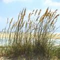 Seaside Reeds by Chris Bordeleau