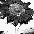 Seattle Sunflower Bw Invert - Stronger by Heather Kirk