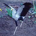 Secretary Bird Running by William Bitman