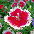 Sedona Dianthus by Robert Meyers-Lussier