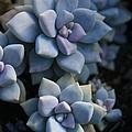 Sedum Clavatum Beautiful Cultivated Stonecrop by Sharon Mau