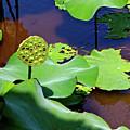 Seeds Of Lotus by Yen