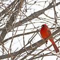 Seeing Red - Northern Cardinal - Cardinalis Cardinalis by Spencer Bush