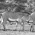 Seeing Stripes by Carl R Schneider