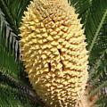 Sago Palm Flower by Tom Janca