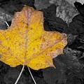 Selective Color Leaf by Alvin Sangma
