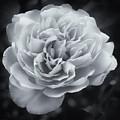 Selenium White Rose by Philip Openshaw