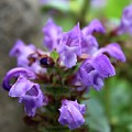 Selfheal Up Close by Mandy Elliott