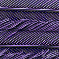 Sem Of Common Grackle Feather by Scimat