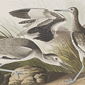 Semipalmated Snipe Or Willet by John James Audubon