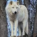 Sentry Wolf by Ed Tepper