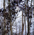 Sepia Aspens by Desmond Raymond