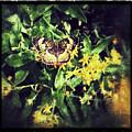 Sepia Butterfly by Rachel Crozier
