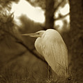 Sepia Egret  by Phill Doherty