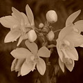 Sepia Flower by Rob Hans