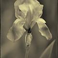 Sepia Iris  by Karen Adams
