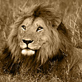 Sepia Lion by Nancy D Hall