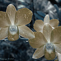 Sepia Orchid by Jessica Westermeyer