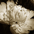 Sepia Peony Flower Art by Christina Rollo