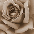 Sepia Rose Abstract by Carol Groenen