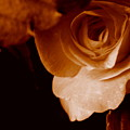 Sepia Series - Rose Petals by Arlane Crump