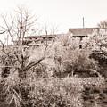 Sepia-toned Blooming Almond Trees Of Fikardou Village 1 by Iordanis Pallikaras