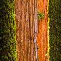 Sequoia Abstract by Rikk Flohr