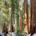 Sequoia Forest by Suzanne Oesterling