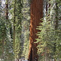 Sequoia General Sherman by Suzanne Oesterling