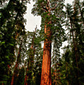 Sequoia In Kings Canyon by David Arment