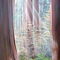 Sequoia by Muriel Dolemieux