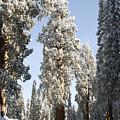 Sequoia National Park 4 by Masha Batkova