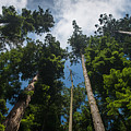 Sequoia Park Redwoods Reaching To The Sky by Greg Nyquist