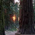 Sequoia Sunset by Anita Troy