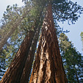 Sequoias - Mariposa Grove by Cindy Murphy - NightVisions