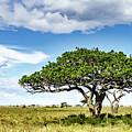 Serengeti Acacia by Jennifer Hess