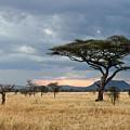 Serengeti Sunset With Acacia Tree by Aivar Mikko