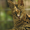 Serval by Keith Lovejoy
