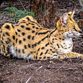 Serval On The Prowl by Gregory Daley  MPSA