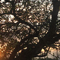 Setting Sun In Tree by Amy Lionheart