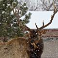 Seven Point Bull Elk by Crystal Garner