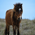Shackleford Banks Pony by Debbie Morris