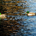 Shade And Sunlight - Mallard Ducks by Marilyn Burton