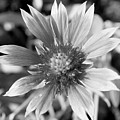 Shades Of Gray Flower By Earl's Photography by Earl  Eells a