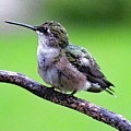 Shades Of Green - Ruby-throated Hummingbird by Cindy Treger